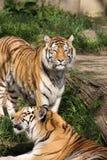 тигры Стоковые Изображения