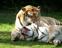 тигры Стоковое Фото