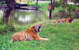 тигры Стоковые Фотографии RF