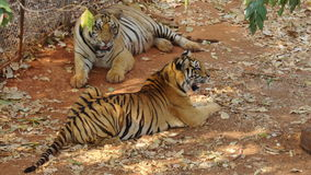 тигры стоковое изображение rf