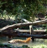 Тигры Eyeing один другого Стоковые Изображения
