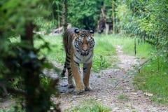 Тигр Амура двигая вдоль пути в лесе Стоковое Фото