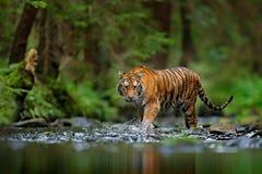 Тигр Амура идя в речную воду Животное опасности, tajga, Россия Животное в зеленом потоке леса Серый камень, капелька реки Сибирь стоковые фото