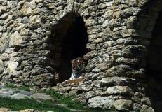 Тигр Амура Парк сафари Gelendshik Россия стоковое фото