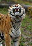Тигр Амура стоковые фотографии rf