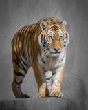 Тигр Амура Стоковая Фотография RF
