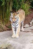 Тигр Амура Стоковая Фотография