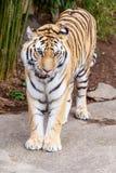 Тигр Амура Стоковое Изображение RF