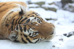 Тигр Амура Стоковые Изображения