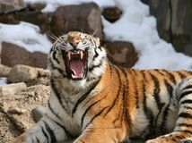 Тигр Амура Стоковое фото RF