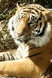 тигр аспекта стоковая фотография