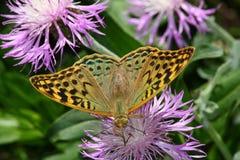 тигр бабочки Стоковые Фотографии RF