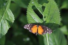 тигр бабочки longwing Стоковое Изображение RF
