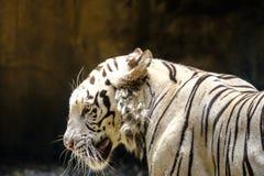 Тигр белизны портрета стоковые изображения