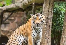 Тигр Бенгалии во время релаксации в природе Стоковая Фотография RF