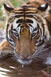 тигр Бенгалии выпивая Стоковая Фотография RF
