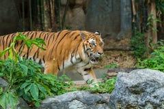 Тигр Бенгалии идущ и наблюдающ в зоопарке стоковая фотография