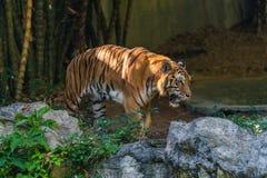 Тигр Бенгалии идущ и наблюдающ в зоопарке стоковое фото rf