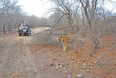 тигр Бенгалии королевский одичалый Стоковое Изображение RF