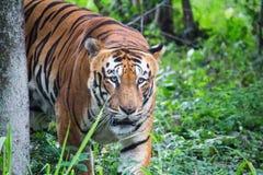 тигр Бенгалии королевский стоковые изображения rf