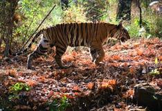 тигр Бенгалии королевский Стоковая Фотография