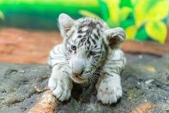 Тигр Бенгалии младенца белый стоковые изображения rf