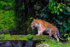 Тигр Бенгалии отдыхая близко с зеленым мхом изнутри зоопарка джунглей стоковое фото rf