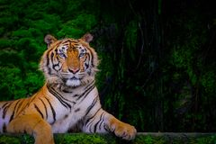 Тигр Бенгалии отдыхая близко с зеленым мхом изнутри зоопарка джунглей стоковое изображение