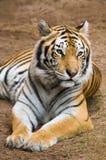 тигр Бенгалии отдыхая Стоковые Фотографии RF