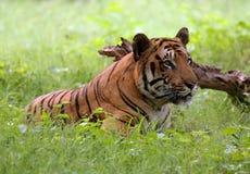 тигр Бенгалии отдыхая Стоковая Фотография