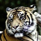Тигр Бенгалии/пантера Тигр Тигр Стоковая Фотография