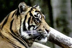 Тигр Бенгалии/пантера Тигр Тигр Стоковое Изображение RF