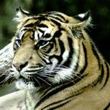 Тигр Бенгалии/пантера Тигр Тигр Стоковые Фотографии RF