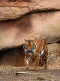 тигр Бенгалии преследуя Стоковая Фотография RF