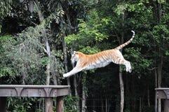 тигр Бенгалии Стоковое Изображение RF