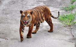 тигр Бенгалии Стоковая Фотография RF