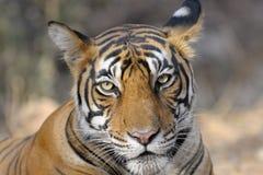 Тигр Бенгалии Стоковое Фото