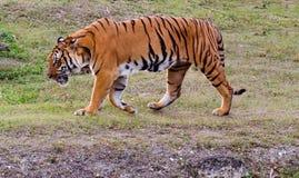 Тигр Бенгалии Стоковое Изображение