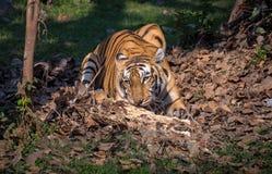 Тигр Бенгалии в окружающей среде естественной среды обитания стоковое фото rf