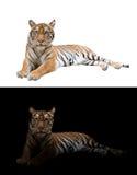 Тигр Бенгалии в темной и белой предпосылке стоковые фото