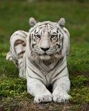 Тигр Бенгалии лижа лапку Стоковые Фото