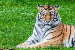 Тигр Бенгалии или пантера Тигр Стоковое Изображение