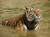 Тигр Бенгалии капания Стоковое Изображение