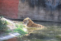тигр Бенгалии королевский стоковое изображение rf