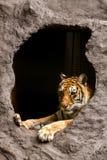 тигр Бенгалии королевский Стоковая Фотография RF