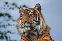 тигр Бенгалии королевский Стоковые Фотографии RF