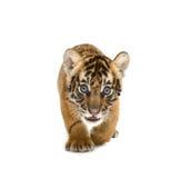 Тигр Бенгалии младенца стоковая фотография