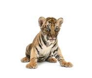 Тигр Бенгалии младенца стоковые изображения rf