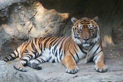 Тигр Бенгалии на зоопарке Dusit в Бангкоке , Таиланд Стоковые Изображения