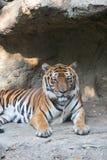 Тигр Бенгалии на зоопарке Dusit в Бангкоке , Таиланд Стоковые Изображения RF